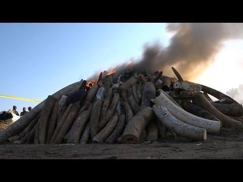 Mozambique: incinération massive de cornes de rhinocéros