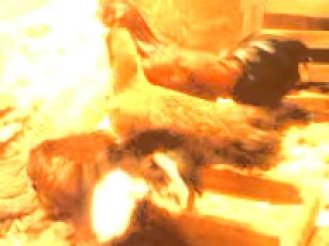 Budidaya Ayam Pelung video