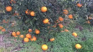 Đây chính là lý do người nhật để hoa quả rụng đầy vườn không ăn
