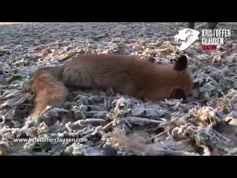 Ulovení lišky vábením