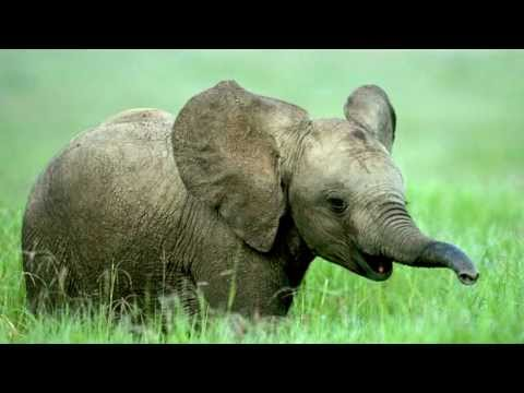 Elephant Sounds and Elephant Pictures
