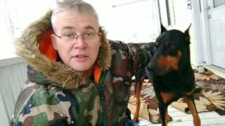 Doberman Pinscher BEFORE You Adopt You Need to Know