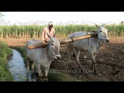 Antiquated method of ploughing with the help of cattle, Karnataka