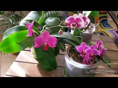 Цветение фаленопсисов