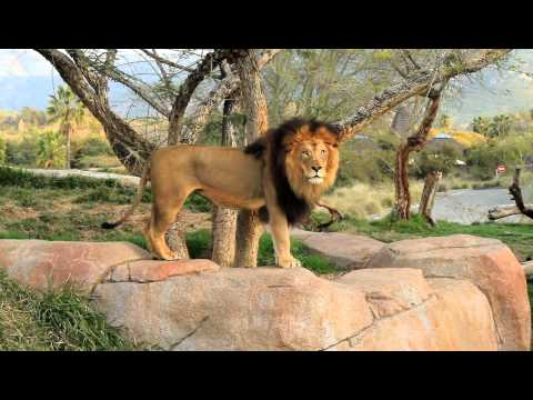 Lions Roaring At The San Diego Wild Animal Park video