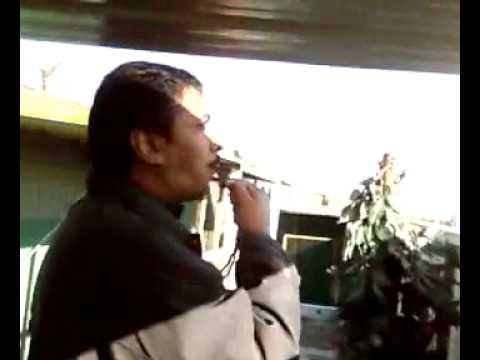 kuwait racing pigeon shampain