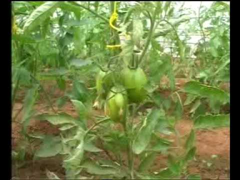 Tomato production technology Pakistan part-1 Dr.Ashraf Sahibzada