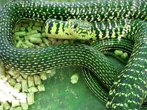 Biacco serpente in evidente atteggiamento e posa da difesa for Serpente frustone