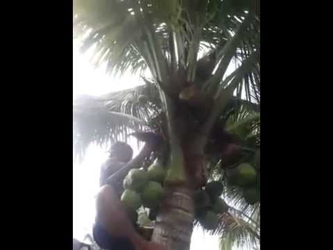 What a big coconut tree