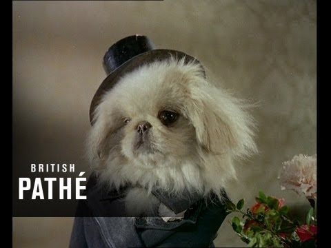 Cute Little Dogs - Freaky Pekes in Wedding Outfits!