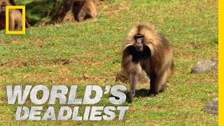 (7.24 MB) Gelada vs. Gelada | World's Deadliest Mp3