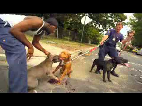 pitbull fight  .mp4