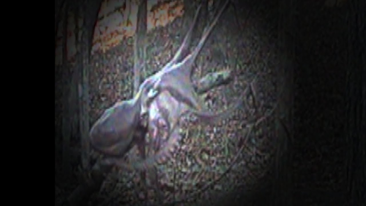 Tree Octopus Leaping (New Footage!)