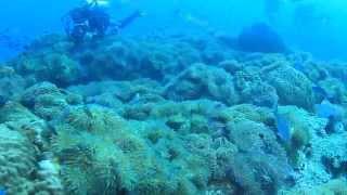 Sea anemone & Pink anemonefish