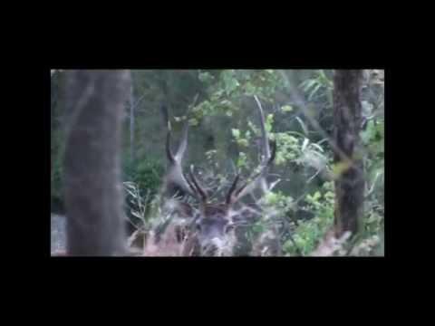 Red Deer Hunting Australia