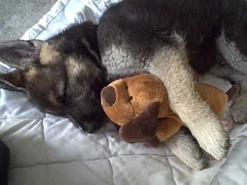Cute German Shepherd Puppies Sleeping