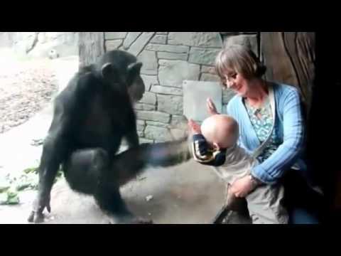 Шипанзе не любит детей