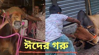 Documentary video of cows & bulls in Bangladesh 2017