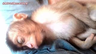 PRIMATES AS PETS - BABY MONKEY NEED TO SLEEP