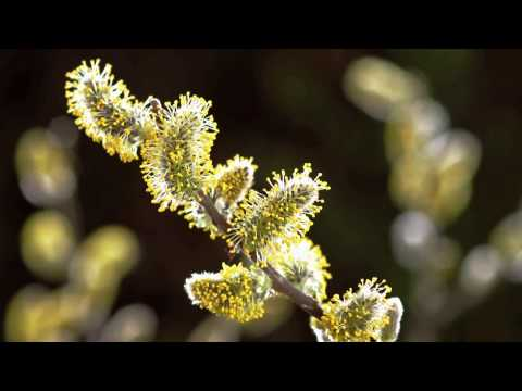 Timelapse SPRING AWAKENING blooming flowers, growing plants. David Attenborough's opinion