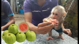 Baby Monkey Doo Eating Guava - Funny Animals