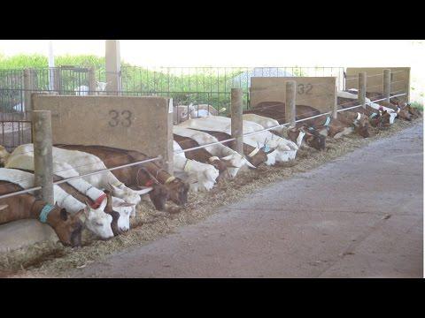 Clique e veja o vídeo Curso Criação de Cabras Leiteiras - Instalações, Raças e Reprodução