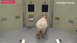 Cừu thông minh hay ngu ngốc? | Thegioidongvat.Co