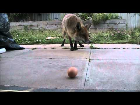Eat the egg . Urban Fox. Floyd gets real close for his egg...