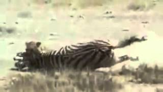 Amazing: Lion vs Zebra | Lion kills zebra almost | Serengeti lion hunting zebra | Lion bat