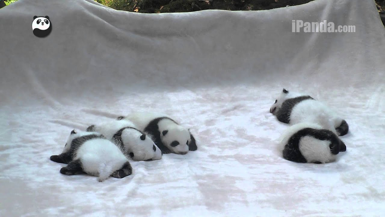 Panda cubs playing on slide