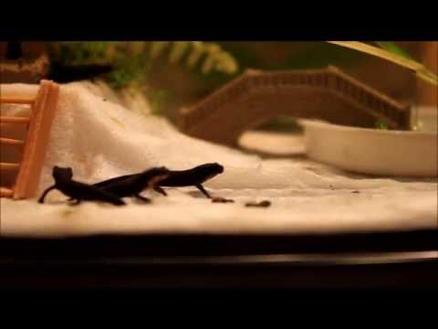 Baby Fire Belly Newt (eft) Feeding 2