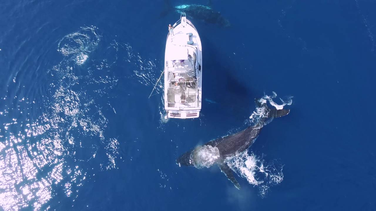 [A Family Of Whales Go Human Sightseeing] Video