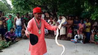साथियों ये साँप मणी उगलता है india Cobra venomous snake (naja naja)