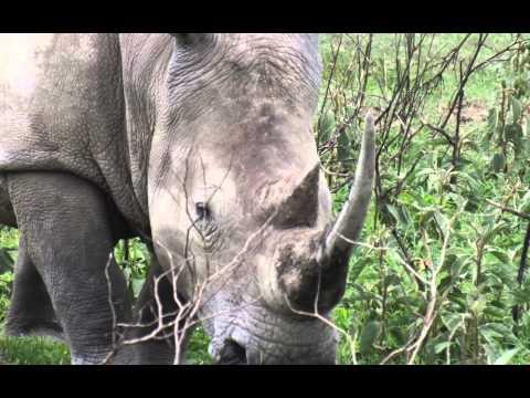 White Rhino vs Buffalo - Kenya, Massai Mara