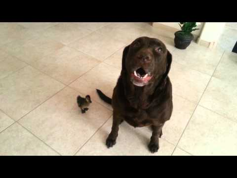 Labrador and Fluffy Duck . Funny !!!!!!!!!!!!!!!!!!!!