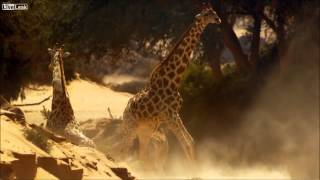 Giraffes Fight To The Death