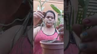 Replante de Dendrobium nobile e plantio dos keike