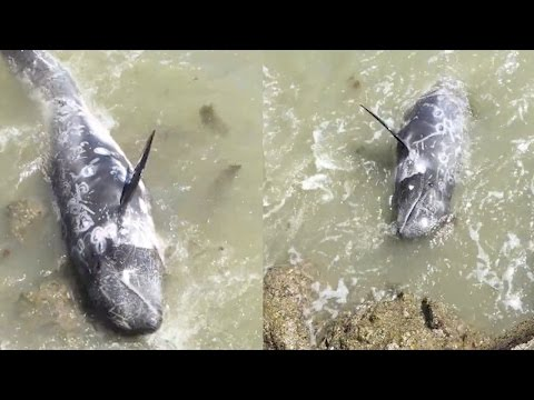 Scared Dolphin Tries To Escape Slaughter | What's Trending Now
