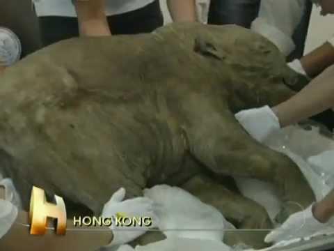 Mamute encontrado na Siberia