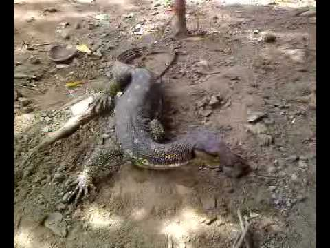 Water Monitor Bayawak ni Estong .mp4