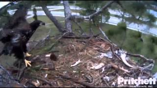 Southwest Florida Eagle Cam 17th March 2014 ~1.20 PM E4 is floating in the air in strong wind!