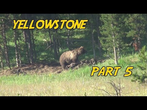 Yellowstone National Park Part 5 - The Grizzly Feast
