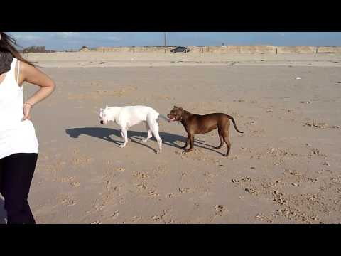 dogo argentino vs pitbull