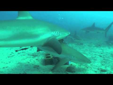 Plonge avec des requins aux es Saint-Martin
