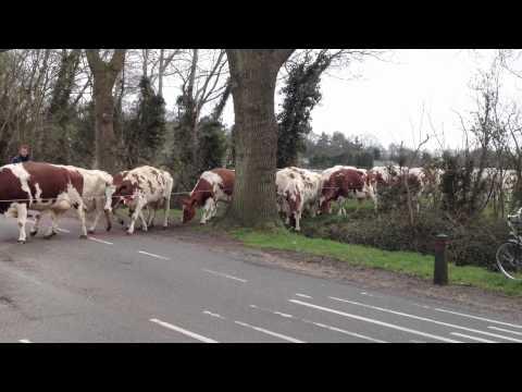 Koeien steken de Molenweg over