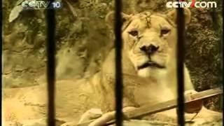 Tiger intercourse a lioness