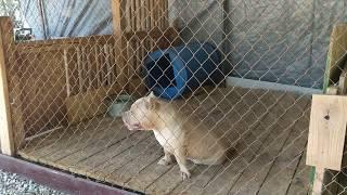 American Bully : FTB Puppy Hilda (sold)