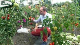 Tomaten nicht ausgeizen - Ein Versuch