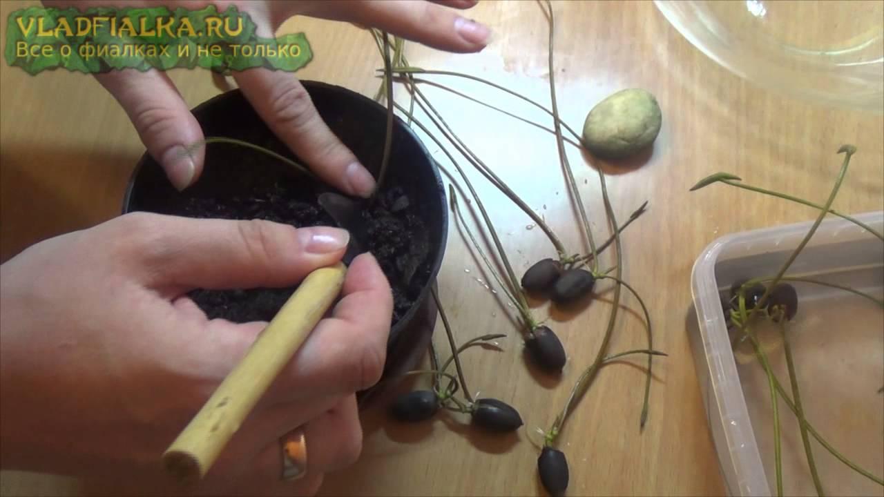 Выращивание лотосов из семян