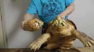 (1.56 MB) 巨大ワニガメパイナップル斬り Alligator snapping turtle snaps a Pineapple off Mp3